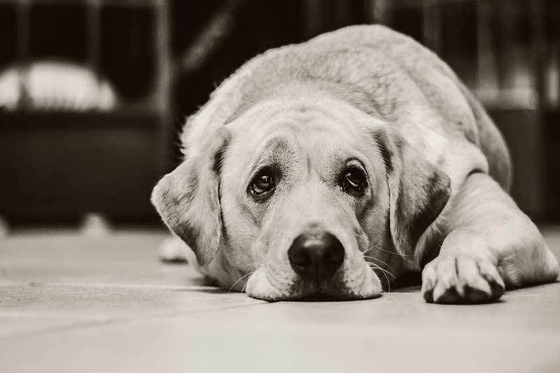 Solitude du chien